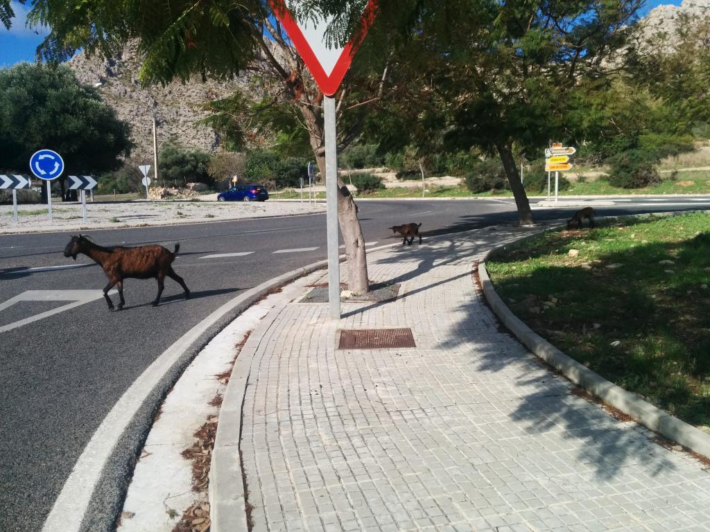 Las cabras salen de la zona de Bóquer y cruzan la circunvalación en busca de comida.