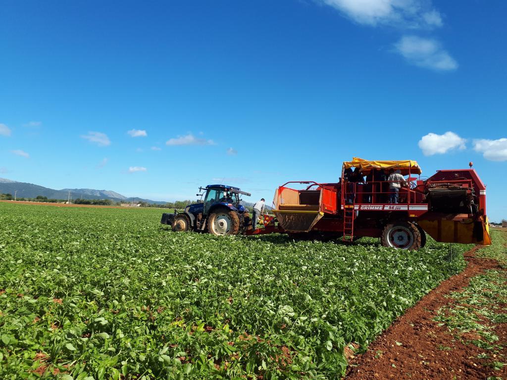 Arranca la campaña de exportación de patata pese al retraso en la maduración