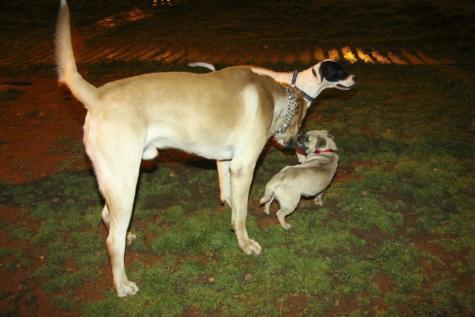 Menorca Perros Perro Gos Gossos Pipican Mahon Mao