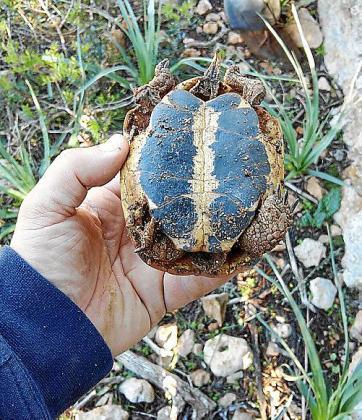 Encontrar tortugas muertas en medio de caminos o zonas despejadas ya es una situación habitual en sa Marina.